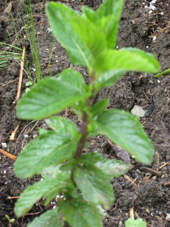 Mint Lori Dennis Front Yard Edible Garden